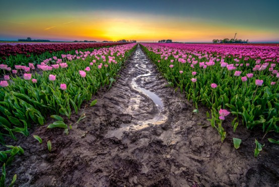 En veld met tulpen met als achtergrond een prachtige zonsondergang.